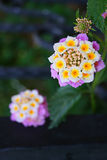 kwiaty różowią biel Zdjęcie Stock