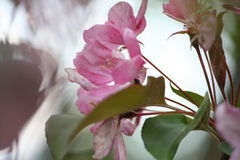 kwiaty różowią drzewa Obrazy Royalty Free