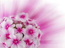 Kwiaty różowią hortensi Zdjęcia Stock