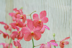 Kwiaty różowią orchidee Zdjęcie Royalty Free