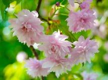kwiaty różowią Sakura tło mleczy spring pełne meadow żółty Obrazy Royalty Free