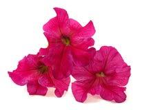 kwiaty różowią trzy Zdjęcie Stock