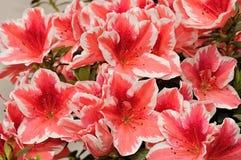 Kwiaty r w pepinierach Obraz Stock