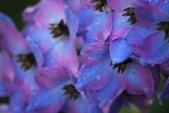 Kwiaty: Raindrops na Delphiniums Obrazy Stock