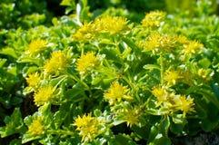 Kwiaty Roccera Alpinum Obrazy Stock