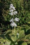 Kwiaty Rodgersia podophylla obrazy royalty free