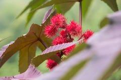 Kwiaty rycynowy - nafciana roślina Fotografia Stock