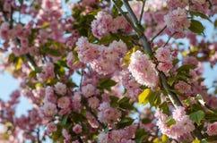 Kwiaty są delikatnym, różowym i białym czereśniowym okwitnięciem, kwitnie w wiośnie zdjęcie stock