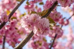 Kwiaty są delikatnym, różowym i białym czereśniowym okwitnięciem, kwitnie w wiośnie obrazy royalty free