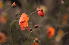 Kwiaty są wciąż piękni po deszczu obraz royalty free