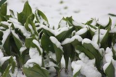 Kwiaty są zieleni w śniegu pierwszy precypitacja Fotografia Royalty Free