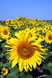 kwiaty słonecznika Obrazy Royalty Free