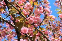 Kwiaty Sakura Japońska wiśnia kwitnęli w ogródzie Fotografia Royalty Free