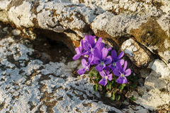 Kwiaty skały Zdjęcie Royalty Free