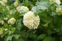 Kwiaty Snowball drzewo Obrazy Stock