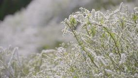 Kwiaty Spiraea, w Showa Kinen parku, Tokio, Japonia zbiory
