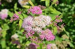 Kwiaty spirea zbliżenie Fotografia Stock