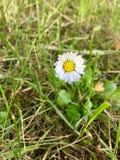 Kwiaty, stokrotki, przyroda, piękno, Fotografia Stock