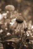 kwiaty szyszkowego sepiowy ton Obrazy Royalty Free