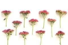 1 kwiaty tła różowy Zdjęcia Stock