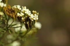 Kwiaty Tagetes minuta Obrazy Stock