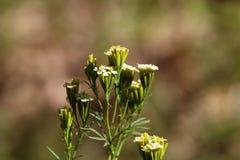 Kwiaty Tagetes minuta Obraz Royalty Free