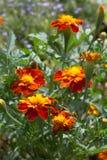 Kwiaty Tagetesa i pączki Zdjęcie Stock