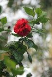 Kwiaty Tajlandia Fotografia Royalty Free