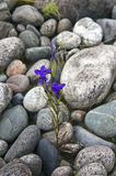Kwiaty target760_1_ na skałach. Obrazy Stock
