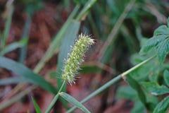 Kwiaty trawy świrzepa, rząd uprawa Fotografia Stock
