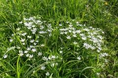 kwiaty trawy zielone white Lato płatek śniegu Zdjęcie Stock