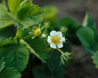 Kwiaty truskawki obraz royalty free