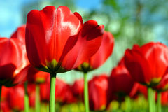 kwiaty tulipanu Zdjęcia Royalty Free