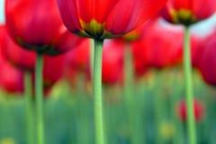 kwiaty tulipanu Obrazy Royalty Free