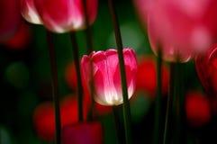 kwiaty tulipanu obrazy stock