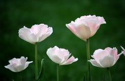 kwiaty tulipanu zdjęcie royalty free