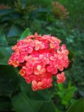 Kwiaty Unicah zdjęcia stock
