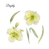 Kwiaty ustawiający akwarela liście i daylily Zdjęcia Stock