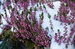 Kwiaty w śniegu zdjęcia royalty free