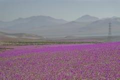 Kwiaty w Atacama pustyni, Chile Fotografia Stock