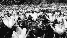 Kwiaty w czarny i biały brzmieniach obrazy stock
