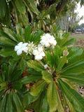 Kwiaty w Darwin fotografia stock