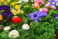 Kwiaty w garnkach w kwiatu sklepie Fotografia Royalty Free