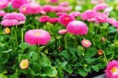 Kwiaty w garnkach w kwiatu sklepie Obrazy Royalty Free