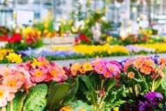 Kwiaty w garnkach w kwiatu sklepie Zdjęcia Royalty Free
