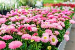 Kwiaty w garnkach w kwiatu sklepie Zdjęcia Stock