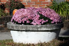 Kwiaty w garnku. Fotografia Stock