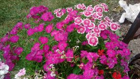 Kwiaty w kwiatu garnku w mój frontowym jardzie Fotografia Stock
