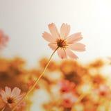 Kwiaty w kwitnieniu z zmierzchem Obraz Stock