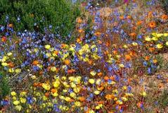 Kwiaty w namaqualand parku narodowym Zdjęcia Royalty Free